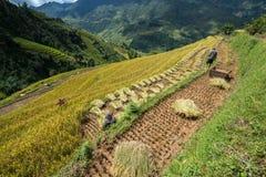 Giacimento a terrazze del riso nella stagione del raccolto con gli agricoltori che lavorano al campo in MU Cang Chai, Vietnam Immagine Stock Libera da Diritti