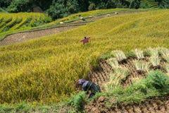 Giacimento a terrazze del riso nella stagione del raccolto con gli agricoltori che lavorano al campo in MU Cang Chai, Vietnam Immagini Stock Libere da Diritti