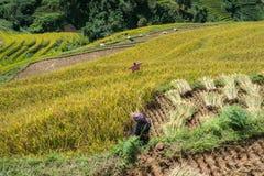 Giacimento a terrazze del riso nella stagione del raccolto con gli agricoltori che lavorano al campo in MU Cang Chai, Vietnam Fotografia Stock Libera da Diritti