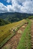 Giacimento a terrazze del riso nella stagione del raccolto con gli agricoltori che lavorano al campo in MU Cang Chai, Vietnam Immagine Stock