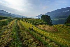 Giacimento a terrazze del riso nella stagione del raccolto con gli agricoltori che raccolgono sul campo in MU Cang Chai, Vietnam Fotografia Stock