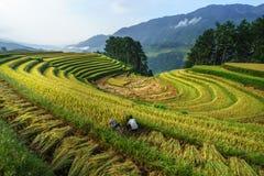 Giacimento a terrazze del riso nella stagione del raccolto con gli agricoltori che raccolgono sul campo in MU Cang Chai, Vietnam Fotografia Stock Libera da Diritti