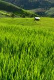Giacimento a terrazze del riso sulla montagna, villaggio di PA Pong Piang, Chiang m. Immagini Stock Libere da Diritti