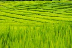 Giacimento a terrazze del riso sulla montagna, villaggio di PA Pong Piang, Chiang m. Immagine Stock Libera da Diritti