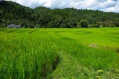 Giacimento a terrazze del riso sulla montagna, villaggio di PA Pong Piang, Chiang m. Immagine Stock