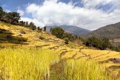 Giacimento a terrazze dorato del riso in valle di Solukhumbu, Nepal Fotografia Stock