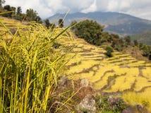 Giacimento a terrazze dorato del riso in valle di Solukhumbu, Nepal Immagine Stock