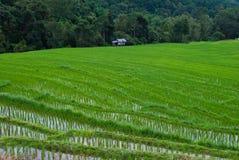 Giacimento a terrazze verde del riso. Immagini Stock