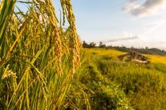 Giacimento a terrazze verde del riso Fotografia Stock Libera da Diritti