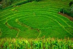 Giacimento a terrazze verde del riso alla foresta di Bong Piang in Mae Chaem, Chiang Mai, Tailandia fotografie stock
