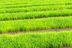 Giacimento a terrazze verde del riso dell'agricoltore in Tailandia per il concetto di agricoltura Immagine Stock Libera da Diritti