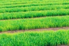 Giacimento a terrazze verde del riso dell'agricoltore in Tailandia per il concetto di agricoltura Fotografia Stock Libera da Diritti
