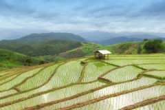 Giacimento a terrazze verde del riso nel PA Pong Pieng, Chiang Mai, Tailandia Fotografie Stock