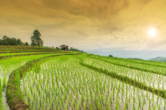 Giacimento a terrazze verde del riso nel PA Pong Pieng, Chiang Mai, Tailandia Immagini Stock