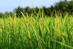 Giacimento a terrazze verde del riso, Tailandia Fotografia Stock Libera da Diritti