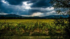 Giacimento Toscana del girasole Fotografia Stock Libera da Diritti