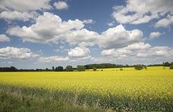 Giacimento variopinto del seme di ravizzone in primavera Fotografia Stock Libera da Diritti