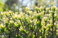 Giacimento verde dei germogli della primavera Fotografia Stock