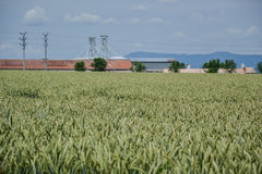 Giacimento verde del grano (triticum) su cielo blu di estate Chiuda su delle orecchie non mature del grano Campo vicino al silos, Immagini Stock Libere da Diritti