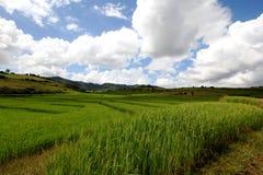Giacimento verde del riso! Immagine Stock