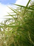 Giacimento verde del riso Fotografia Stock Libera da Diritti