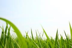 Giacimento verde del riso Immagine Stock