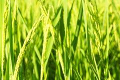 Giacimento verde del riso Fotografie Stock Libere da Diritti
