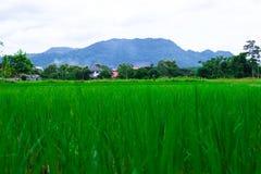 Giacimento verde del riso Fotografie Stock