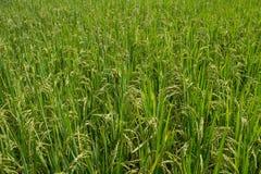 Giacimento verde del riso Immagini Stock