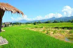 Giacimento verde del riso fotografia stock
