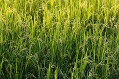 Giacimento verde del riso Immagine Stock Libera da Diritti