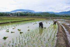 Giacimento verde del riso in Asia a tempo di molla con gli agricoltori Fotografia Stock