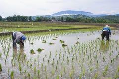Giacimento verde del riso in Asia a tempo di molla con gli agricoltori Fotografie Stock