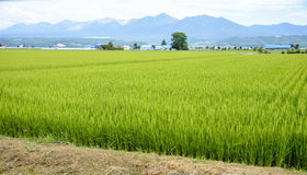 Giacimento verde del riso in campagna Fotografia Stock Libera da Diritti