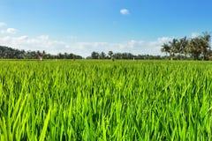 Giacimento verde del riso con cielo blu Fotografie Stock Libere da Diritti