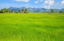 Giacimento verde del riso con cielo blu Immagini Stock Libere da Diritti