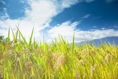 Giacimento verde del riso con il fondo della nuvola Immagini Stock