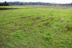 Giacimento verde del riso con il fondo delle montagne in India Fotografia Stock Libera da Diritti