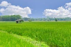 Giacimento verde del riso con il paesaggio della campagna della nuvola del cielo blu in rurale Immagini Stock Libere da Diritti