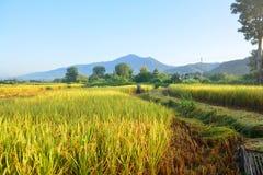 Giacimento verde del riso con l'agricoltore che raccoglie riso immagini stock