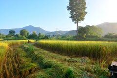 Giacimento verde del riso con l'agricoltore che raccoglie riso fotografia stock libera da diritti