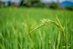 Giacimento verde del riso con la natura Fotografia Stock Libera da Diritti