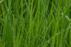 Giacimento verde del riso con la rugiada verde di mattina che aspetta per essere raccolto Fotografia Stock
