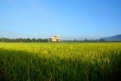 Giacimento verde del riso con nebbia immagini stock