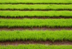Giacimento verde del riso da Chiang Mai Fotografia Stock Libera da Diritti