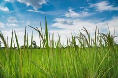 Giacimento verde del riso del gelsomino della risaia con cielo blu Fotografia Stock Libera da Diritti