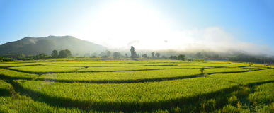Giacimento verde del riso di panorama fotografia stock libera da diritti
