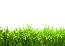 Giacimento verde del riso isolato su priorità bassa bianca Immagine Stock