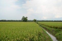 Giacimento verde del riso Immagini Stock Libere da Diritti