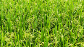Giacimento verde del riso nave agricoltura Fotografie Stock